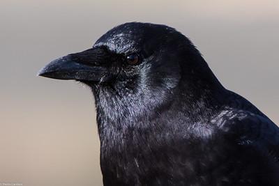 Deception Pass Crow