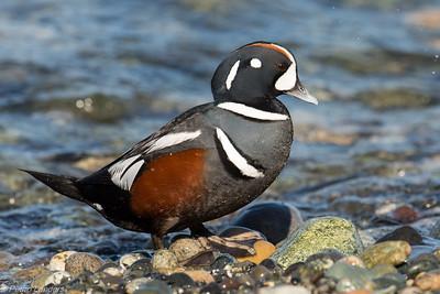 Better Harlequin Duck