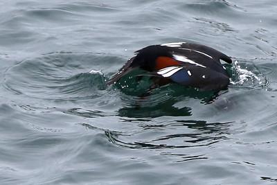 Harlequin Duck Dive