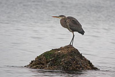 Blue Heron on an Island