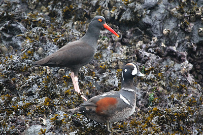 Oystercatcher and Harlequin