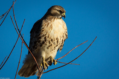 The Second Hawk