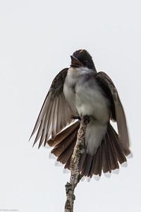 Kingbird Displaying