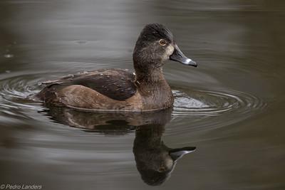 Female Ring-Necked Duck