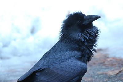 Raven - Glacier NP