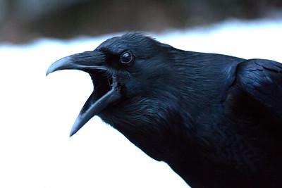 Raven with Attitude