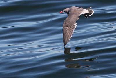 Ring-billed Gull 02