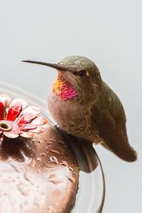 Anna's Hummingbird in the Rain