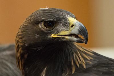 Golden Eagle - Raptor Event - Mukilteo Library