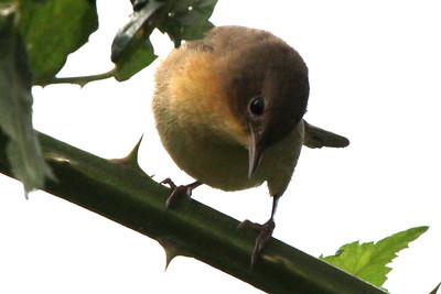 Common Yellowthroat - Non-Breading Plumage
