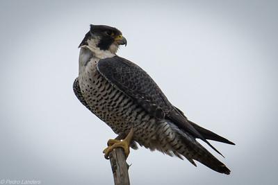 Peregrine Falcon in the Wind