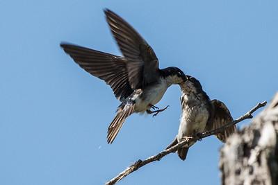 Tree Swallow Feeding