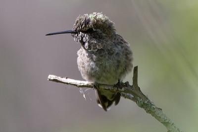Young Anna's Hummingbird