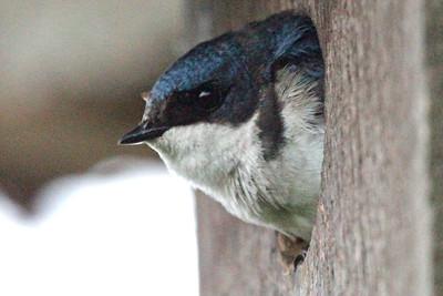 Tree Swallow Nest Box