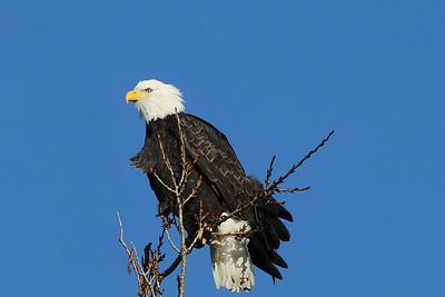 Bald Eagle - Skagit