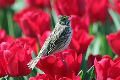 Savannah Sparrow and Tulips