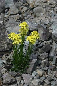 Western Wallflower - Telluride