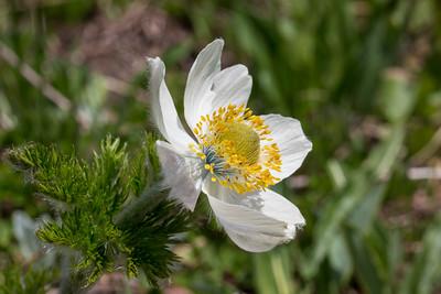 Western Pasqueflower