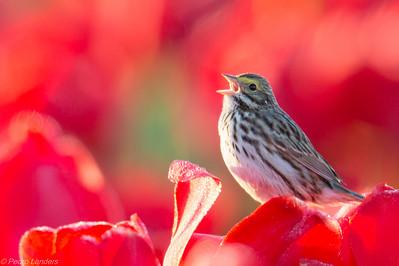 A Sparrow greets the Sun
