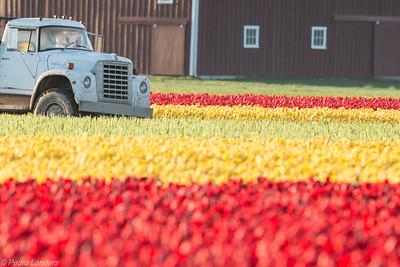 Industrial Tulips