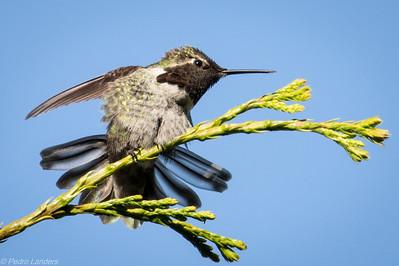 Hummingbird with Flair