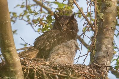 Watchful Momma Owl