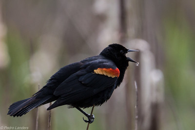 Red-Winged Blackbird in Full Cry