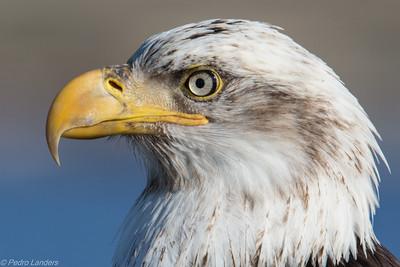 Adolescent Eagle