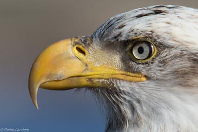 Adolescent Eagle Detail