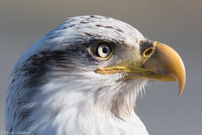 The Parking Lot Eagle