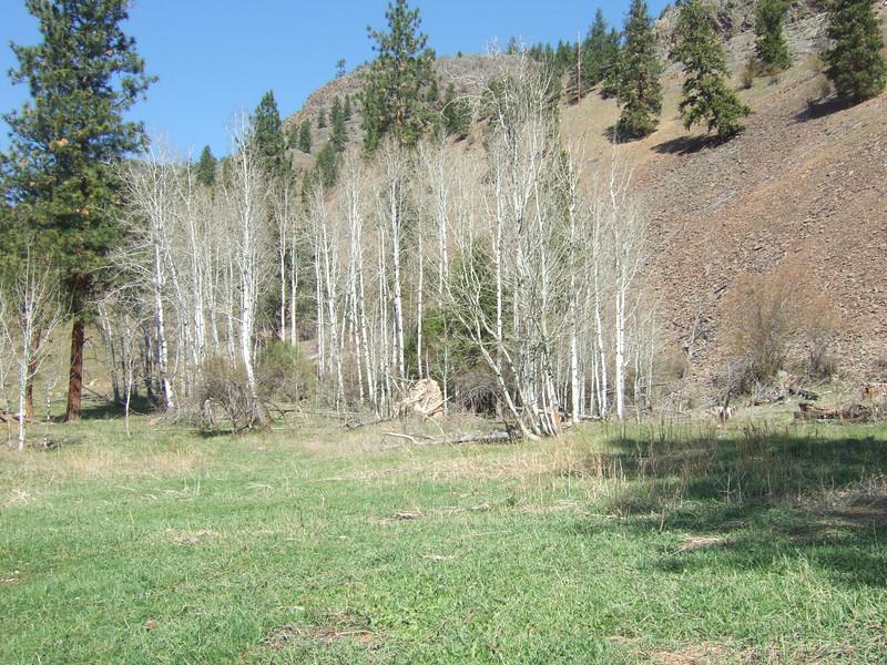 Aspen Grove near spring