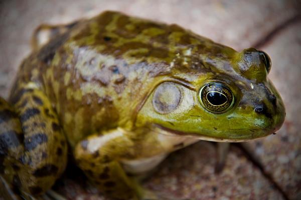 Frogzilla - Spring 2010