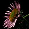 Echinacea Light Kiss