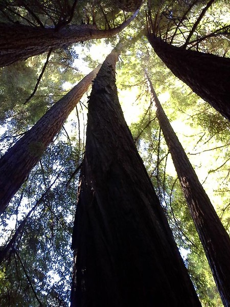 Curved Redwoods