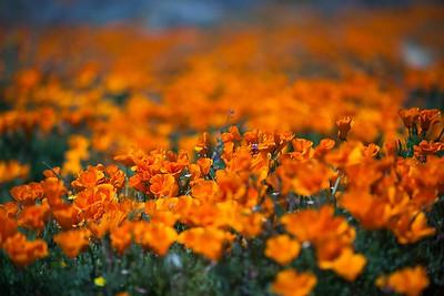 California - Lancaster - California Poppy Reserve - 2017