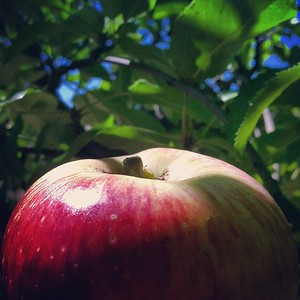 Apple Light #apples #apple #applepicking #fruit #wylona #julian #sandiego #picking #sunlight #adventure #travel #travels