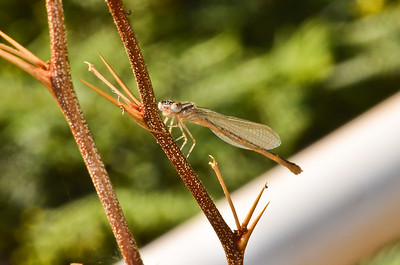 Damselfly. Oluwalu, Maui, Hawaii.