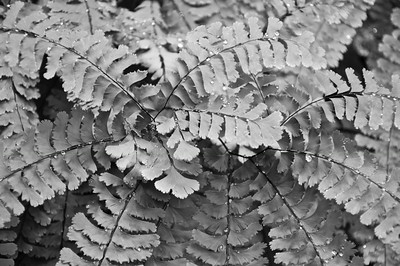 Maidenhair Fern 1