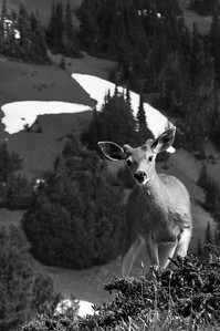 Blacktail Deer, Hurricane Ridge