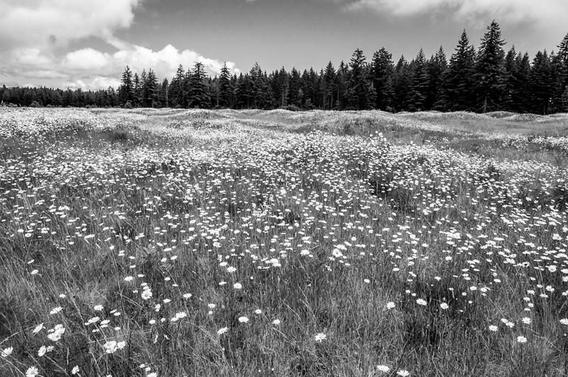 Wildflowers Mima Mounds