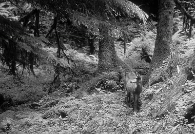 Blacktail Deer Quinault Valley