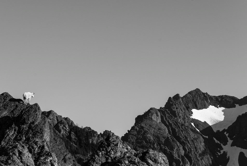Mountain Goat, Mt. Angeles