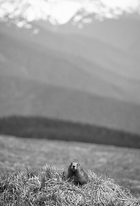Olympic Marmot and Mountains Hurricane Ridge