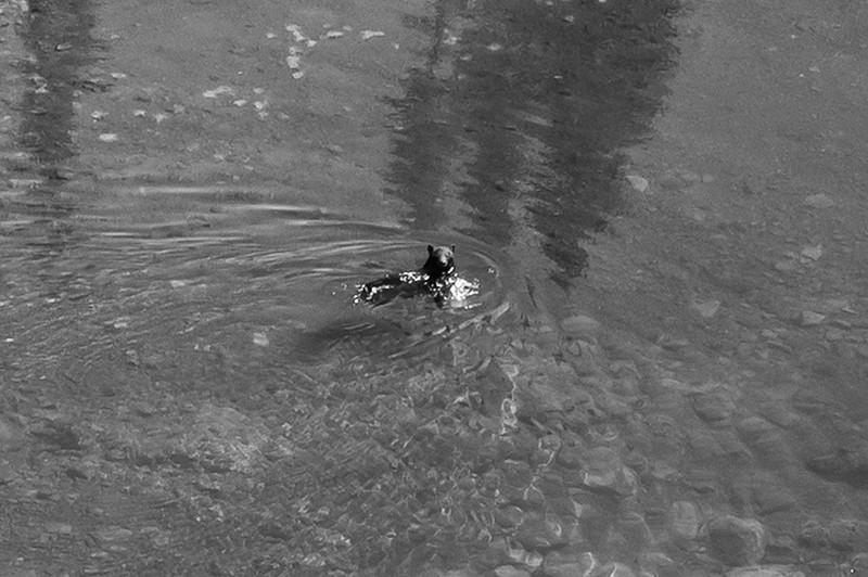 Swimming Bear in Tarn, Hurricane Ridge