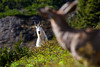 A black-tailed deer watches as a mountain goat approaches on the side of the mountain.