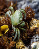 A green crab hiding in the algae of the tide pools of Salt Creek County Park.