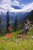 Indian Paintbrush & Mt. Rainier - Mt. Rainier National Park - Doug Beezley - July 2008