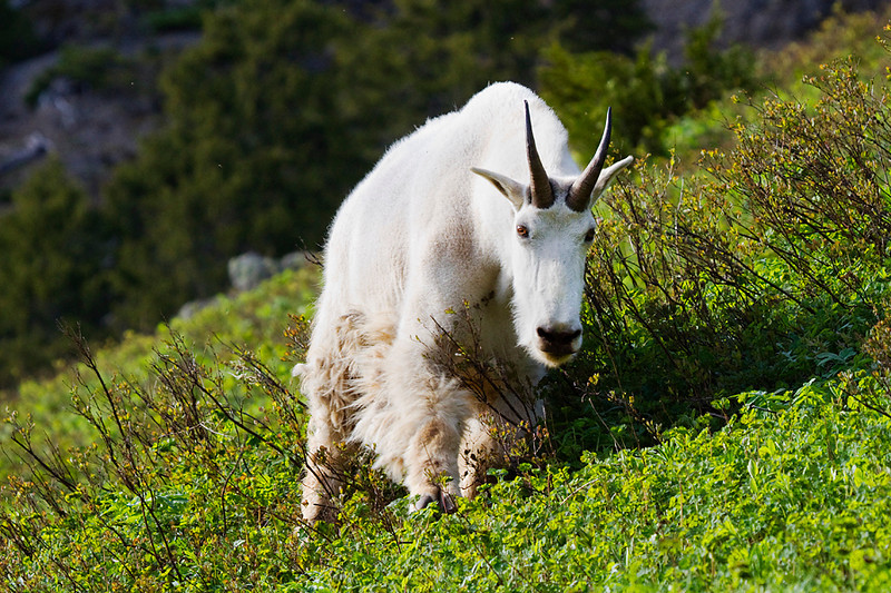 A mountain goat coming down the mountain.