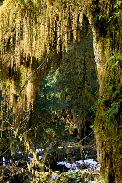 Hoh Rain Forest, Hall of Mosses trail, winter