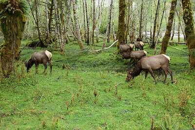 Roosevelt elk near the entrance to the Hoh Rain Forest
